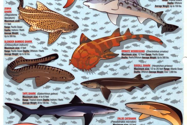 Sharks of the Atlantic Pacific and Caribbean Oceans 2
