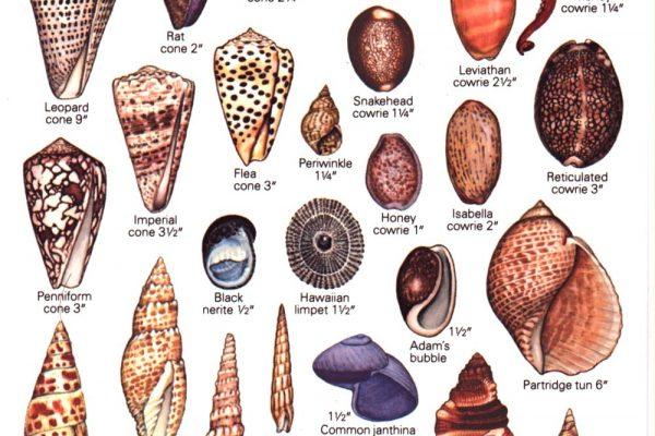 Shells of Hawaii